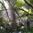 藤の花のアーチ