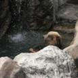 クマの水浴び